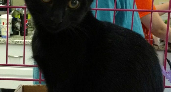 Adopt Black Cat