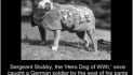 Program Salutes Animals That Aided World War I Soldiers By Steve Sears