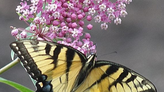 Friends Of Laurelwood Arboretum To Host Children's Butterfly Day
